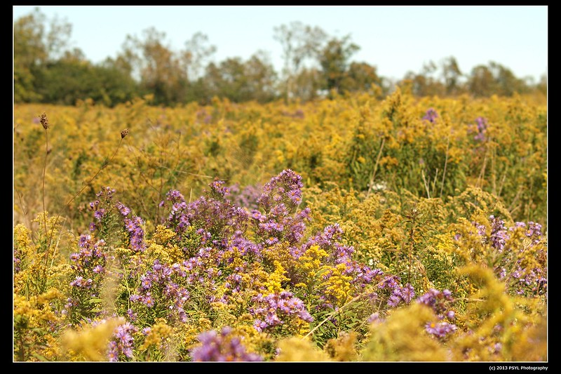 Field of Asters and Goldenrods