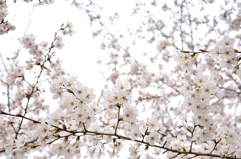 ayako_sakura12