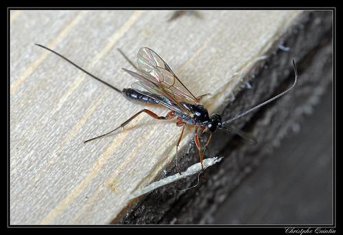 Ichneumonidae/Banchinae