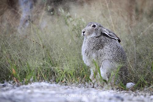 Jack The Rabbit by Megan Lorenz