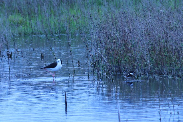 black winged stilt and red kneed dotterel