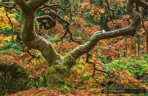 2013-10-26 Oregon Portland Japanese Garden Maple-5