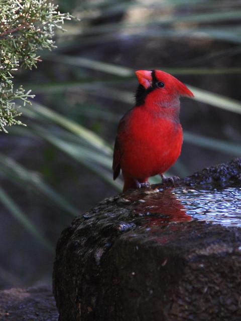 Northern Cardinal 2-20131102