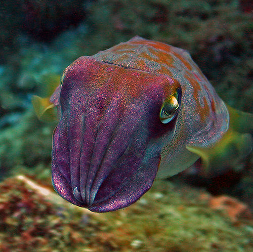 King of the Cuttlefish