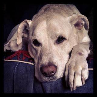 My baby had a rough night and is not feeling well this morning :( #dogstagram #MegaEsophagus #bigdog #love