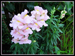 Antirrhinum with attractive soft pink flowers, 30 Nov 2013