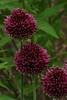Allium sphaerocephalon, Drumstick Allium
