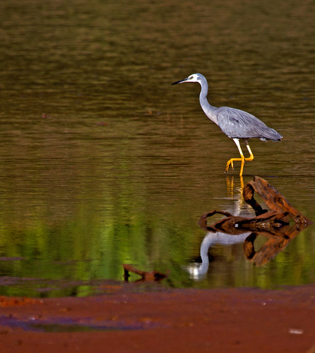White-faced Heron, Mount Rooper