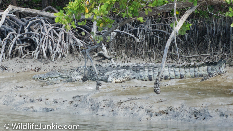 Crocodile in the Florida Everglades