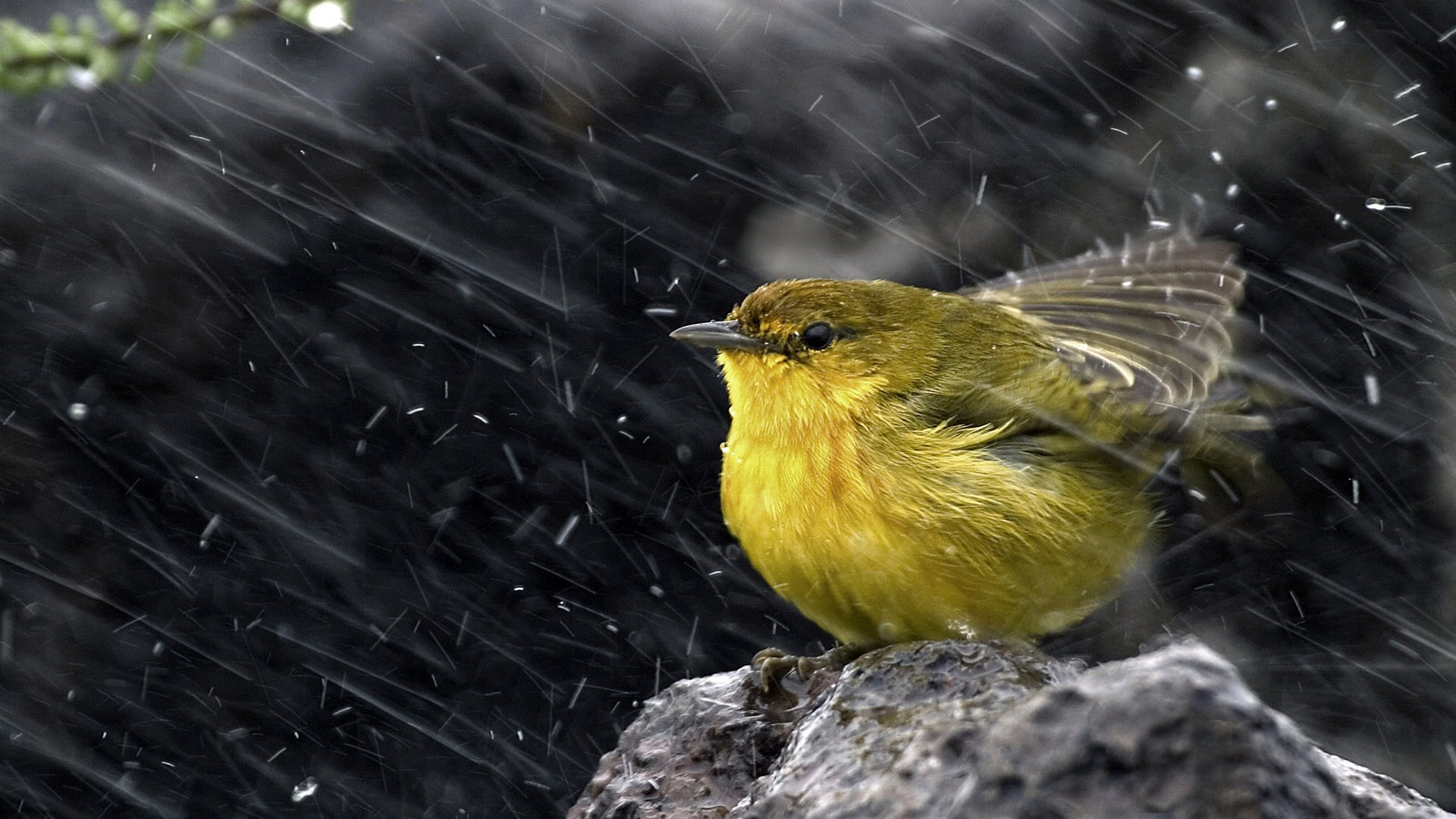 Cute Bird in Rainy Weather - 10 Awesome raindrop Wallpapers