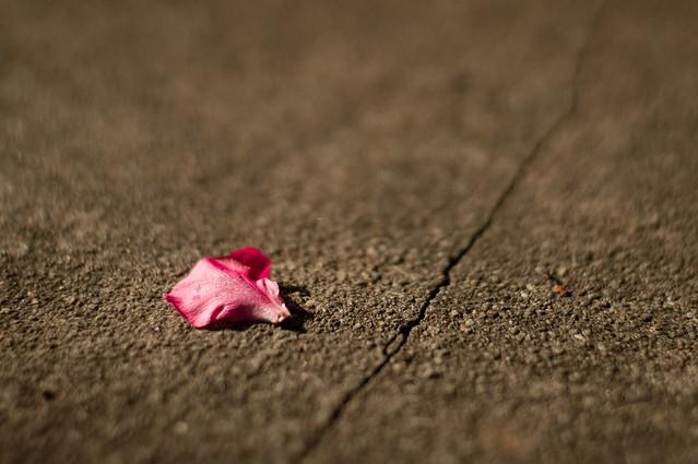 Single rose petal flickr photo sharing for Individual rose petals