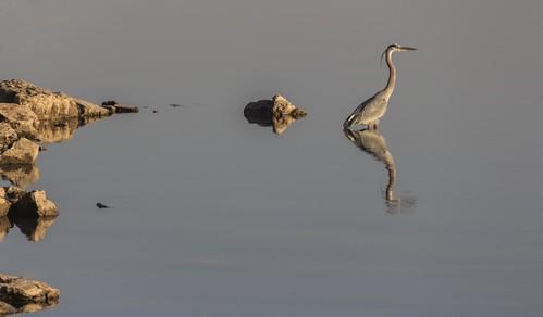 lake bird oklahoma heron water landscape wildlife scenic greatblueheron lakehoverholser
