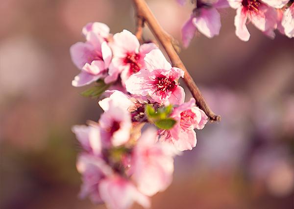אביב, פריחת האפרסק