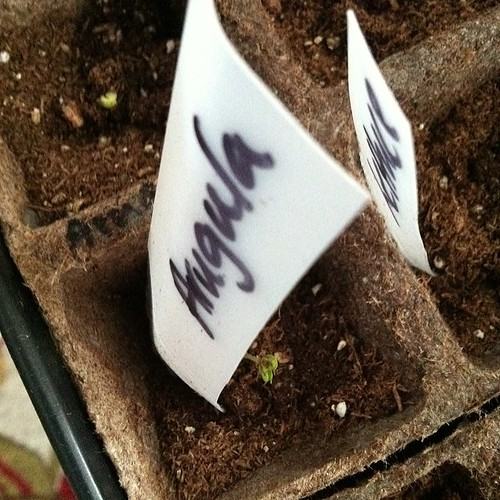 Woohoo! Seeds coming up - arugula and dwarf snap pea #seedstarting
