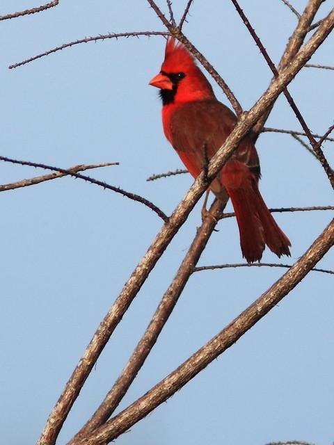 Northern Cardinal 20140307