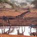 Two giraffes, one zebra by altsaint