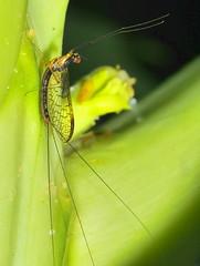 Mayflies Ephemeroptera of Whitsunday Shire