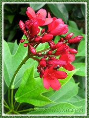 Scarlet-red flowers of Jatropha integerrima (Spicy Jatropha, Peregrina), Jan. 16 2014 in our garden