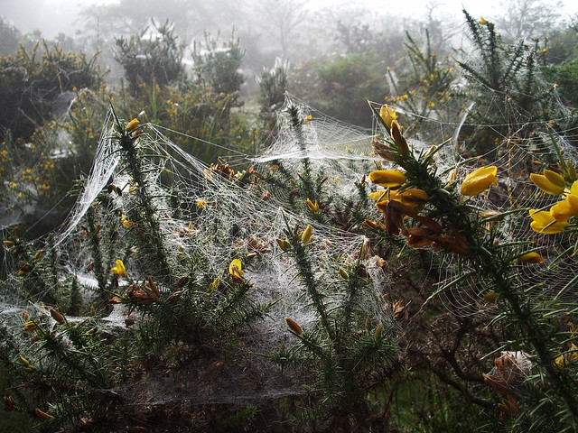 Day 3: cobwebs on gorse