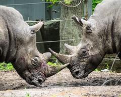 Rhinoceroses at the Bronx Zoo, New York City