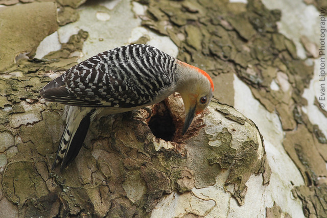 Red-bellied Woodpecker on American Sycamore