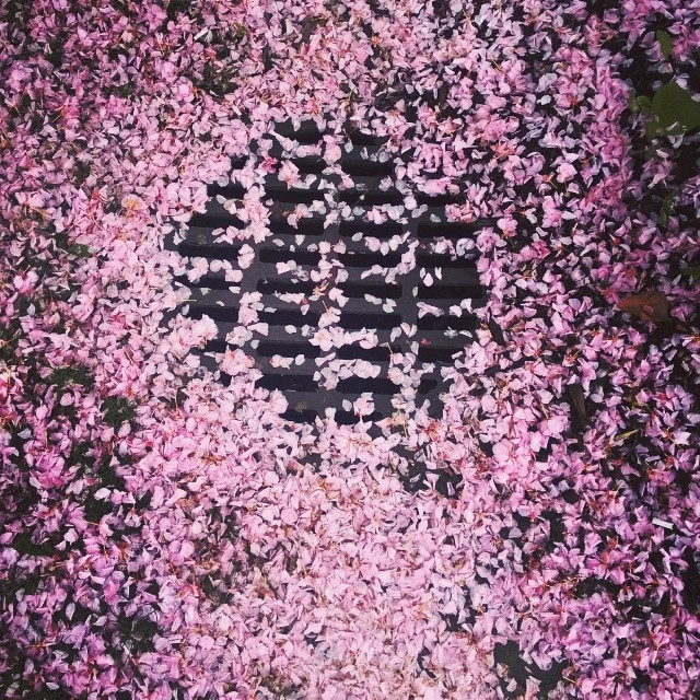 The prettiest street grate in NYC.  #nyc #brooklyn #pratt #flowers #floral #pretty #pink #street #tree #garden