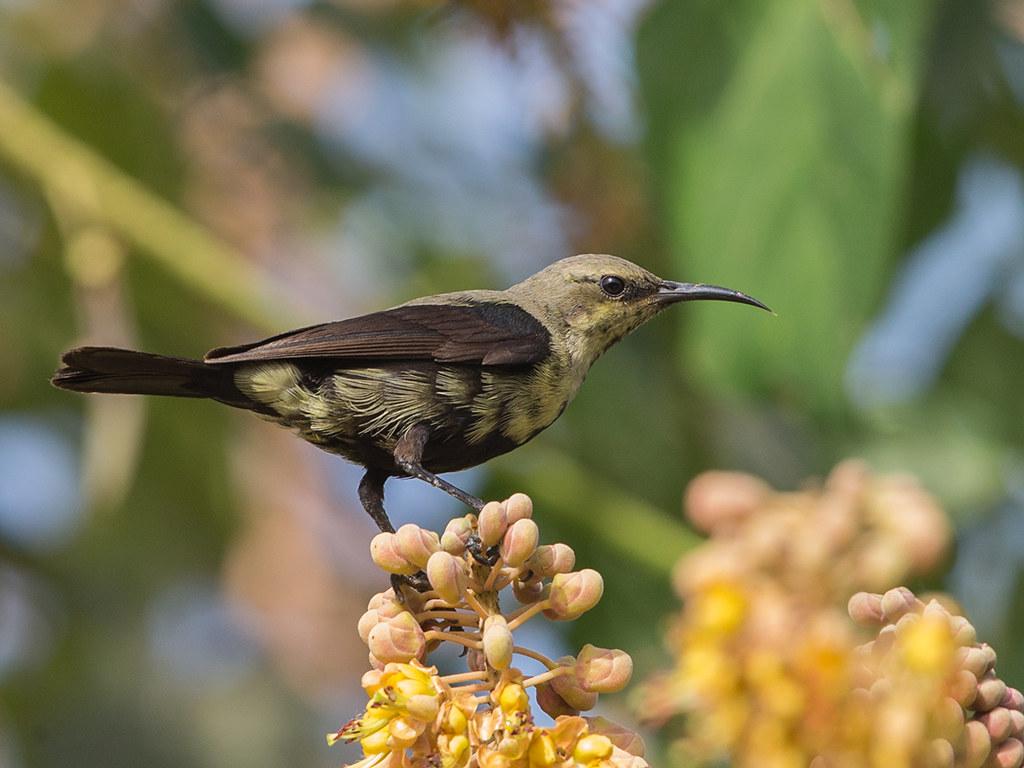 Copper Sunbird  Gambia