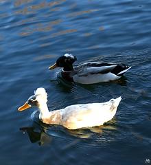 Denman Park Two Ducks Having A Bad Hair Day