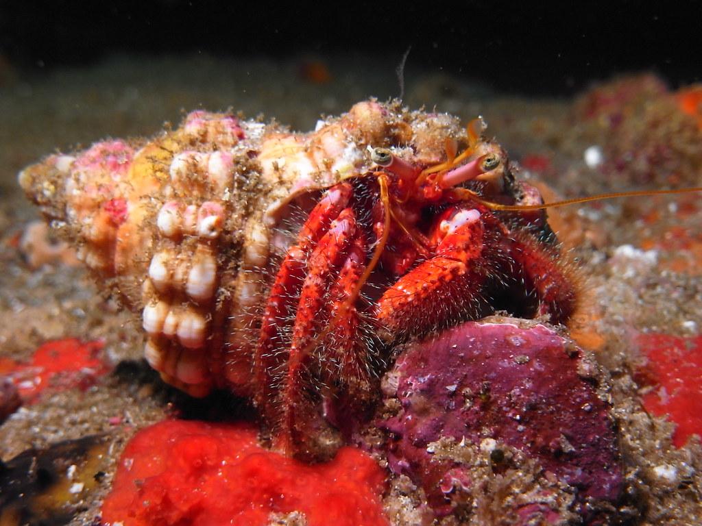 Hermit Crab - Jervis Bay.