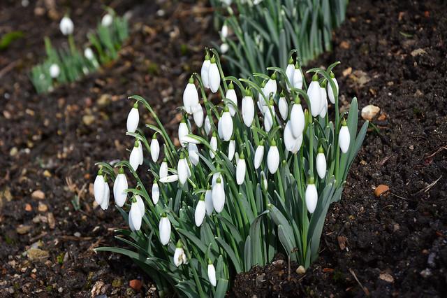 Snowdrops Ightham