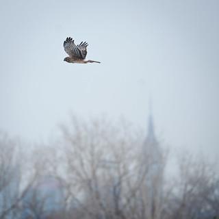 Northern Harrier over the Hackensack