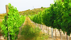 Mataro_vineyard_paphos_fikardos_winery