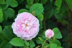 Rosa 'Duchesse de Montebello' (gallica rose), Rose Garden