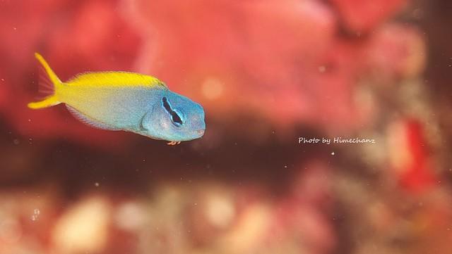 オオゴンニジギンポ幼魚