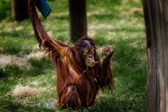 bornean orang utan at twycross