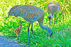 Sandhill Cranes With Colt 16-0604-0252 by digitalmarbles