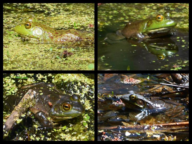 Bullfrog Bingo