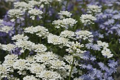 blossom(0.0), cow parsley(0.0), tanacetum parthenium(0.0), anthriscus(0.0), yarrow(1.0), iberis sempervirens(1.0), flower(1.0), candytuft(1.0), plant(1.0), breckland thyme(1.0), lilac(1.0), subshrub(1.0), herb(1.0), wildflower(1.0), flora(1.0), produce(1.0),
