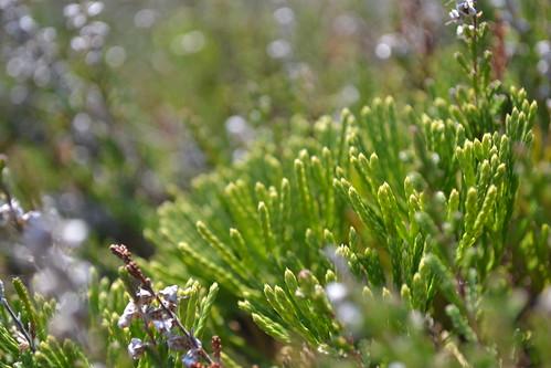 plant clubmoss lummer lycopodiaceae rödlistad deeprootclubmoss cypresslummer