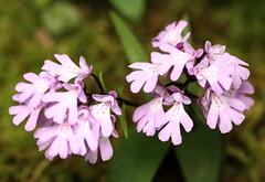 Terrestrial Orchid / Amitostigma keiskei / 岩千鳥(イワチドリ)