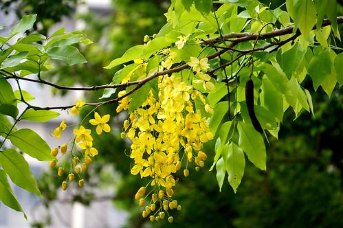 黃金雨樹 - 阿勃勒