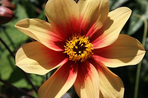 Garden in Red - Dahlia 'Sunshine