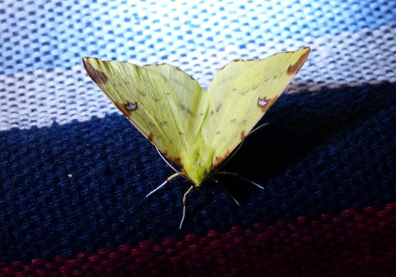 P1050808 - Brimstone Moth, Isle of Mull