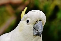 wing(0.0), cockatoo(1.0), animal(1.0), parrot(1.0), white(1.0), sulphur crested cockatoo(1.0), fauna(1.0), close-up(1.0), common pet parakeet(1.0), beak(1.0), bird(1.0), wildlife(1.0),