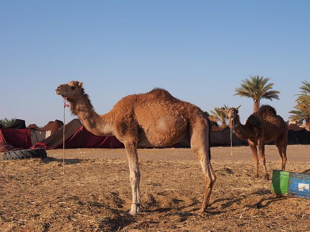 旅館旁的兩隻駱駝