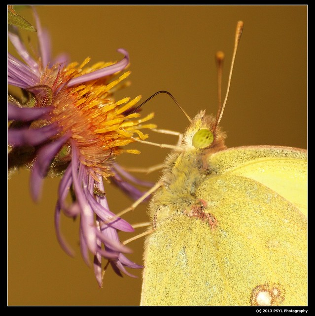Sulphur butterfly (Phoebis sp.)
