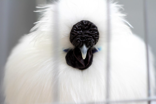 Perth Royal Show 2013 - Silkie Chickens Are Aliens, Surely