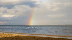 Swans under the rainbow