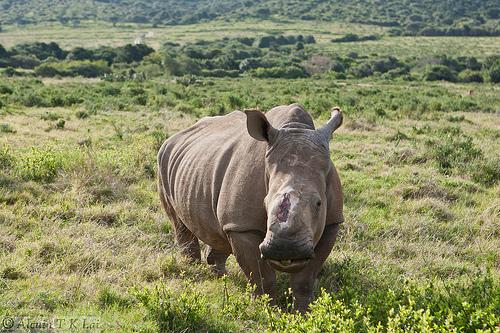 斷角犀牛,圖片來源alcuin