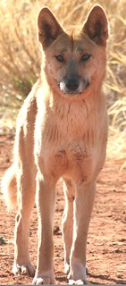 Dingo, credit Ken Shaw copy 2
